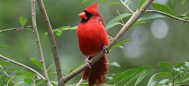 what does it mean when you see a red cardinal